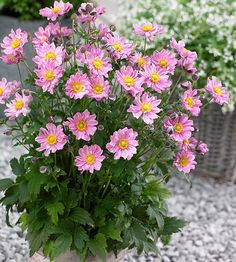 Add late-summer color to your garden with Anemone Fantasy 'Pocahontas'!