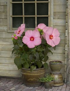 "Newbiscus Hibiscus ""Mauvelous"" grows easily on the patio in a container pot and is winter hardy!"