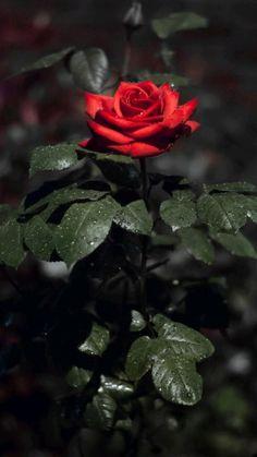 love roses flowers