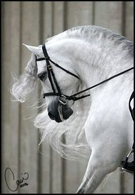 Spanish Andalusion. What a gorgeous dressage horse. He looks identical to my own Andalusion, expression and everything. A beautiful beasty.