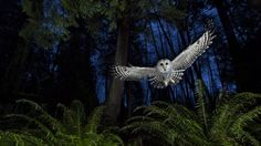 Winning photos from Wildlife Photographer of the Year 2013 - Female barred owl in British Columbia