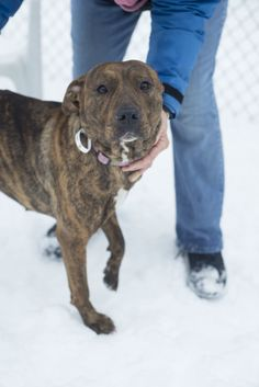 BECKY(very sweet)...FOUND IN STARK COUNTY Canton, OHIO...Picked up as a stray on 2/4.  Avaialbe on 2/8.  $ 86.00 fee includes license, 4 way shot, Bordetella vaccine, flea treatment if necessary.  Some dogs are also wormed, Heartworm tested.  $50.00 goes to the cost of spay/neuter and rabies. We take cash...