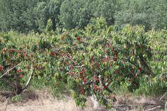 Cerezos de Milagro Navarra