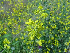 Sisymbrium officinale or hedge mustard Hedges, Bulgaria, Wild Flowers, Mustard, Plants, Wildflowers, Living Fence, Mustard Plant, Plant