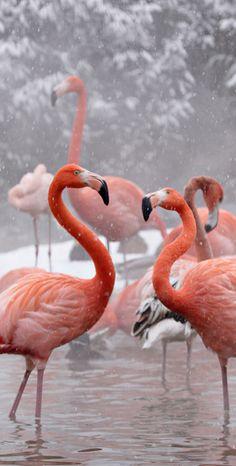 Flamingoes at National Zoo