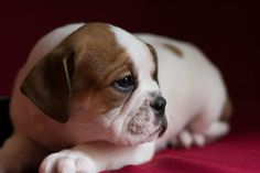 Beabull puppy for sale in KENT, OH. ADN-65112 on PuppyFinder.com Gender: Female. Age: 9 Weeks Old