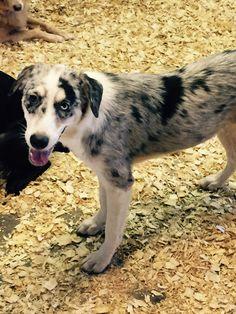 Australian Shepherd dog for Adoption in Del Rio, TX. ADN-638602 on PuppyFinder.com Gender: Female. Age: Young