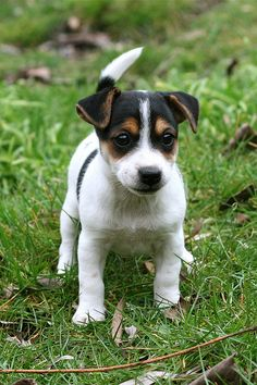 Jack Russel Terrier... Usually don't like them but he's cute!