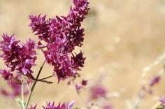 Lo que necesitas saber para aprovechar las propiedades de la Salvia