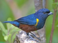 he Chestnut-bellied Euphonia (Euphonia pectoralis) is a species of bird in the Fringillidae family. It was formerly placed with the related Thraupidae. It is found in Argentina, Brazil, and Paraguay._DarioSanches.jpg (1024×768)