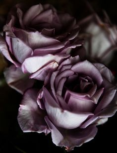 Wilting pink roses
