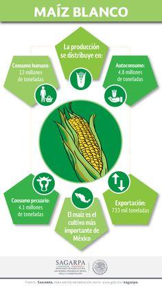 El maíz es el cultivo más importante de México.  SAGARPA SAGARPAMX #SomosProductores