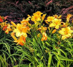 Paul Kercher - Day Lilies