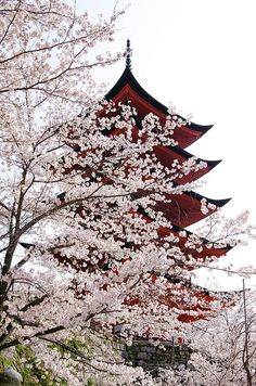 Miyajima Cherry Blossoms, Hiroshima, Japan