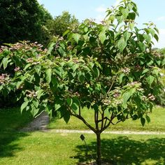 Image result for Clerodendrum trichotomum var. fargesii