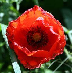 Poppy, Papaver rhoeas