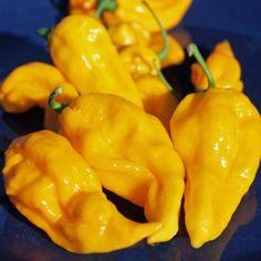 Chili Fatalii (Schärfe 10+) (Samen)  Capsicum chinense Hat faltige, spitz zulaufende gelbe Früchte mit einem Geschmack, der an Orangen und Zitronen denken lässt. Diese Sorte stammt aus Zentralafrika.
