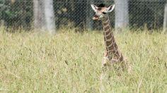 Mogo Zoo has welcomed a newborn giraffe, the fifth baby for mum Shani.