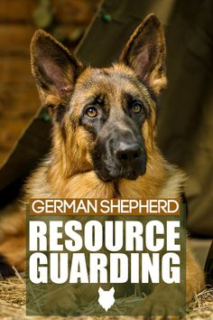 Resource Guarding happens when a dogs behaviour is off, such as growling or biting. This can happen in any breed but today we will discuss what happens and what to do with your German Shepherd. Best Guard Dog Breeds, Best Guard Dogs, Best Dogs, German Dog Breeds, Large Dog Breeds, Large Dogs, German Shepherds, German Shepherd Dogs, Caucasian Shepherd Dog