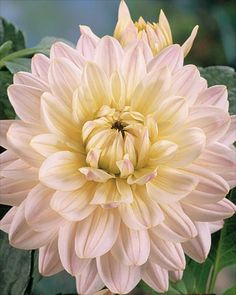 "Dahlia 'Diana's Memory' (3-4"" bloom; 2.5' bush) pastel pink with creamy center; decorative."