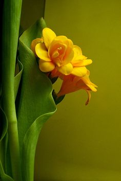 wrap around, so i can protect you - Gelb All Flowers, Exotic Flowers, Orange Flowers, Amazing Flowers, Beautiful Flowers, Flowers Nature, Spring Flowers, Mellow Yellow, Color Yellow