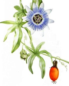Passion flower by Graham Singleton Reed Passion flower © Graham Singleton Reed Watercolour