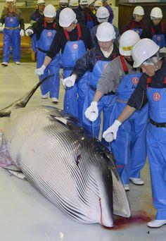 Giappone, prima caccia alle balene dopo il «no» Onu - Corriere.it