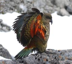 Kea - the curious & devious Native NZ alpine parrot found only in the Southern Alps.