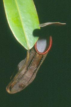 Nepenthes thorelli