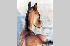 Arabische Pferde - Asil Arabian - Ansiba Arabians