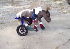 Disabled Mini-Horse, Roozer Brewz, Uses A Tiny Wheelchair And Is Downright Adorable [Video] All The Pretty Horses, Beautiful Horses, Animals Beautiful, Cute Horses, Horse Love, Mini Horses, Aide Handicap, Dog Wheelchair, Horse Pictures