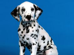 I am in love with dalmatians right now.