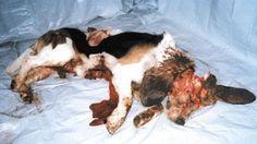 Animal Cruelty - Animal Testing: information about cruelty in the animal testing industry. Stop Animal Testing, Stop Animal Cruelty, Horror, Animal Welfare, Animal Rights, Beagle, Animals Beautiful, Cruelty Free, Animal Rescue