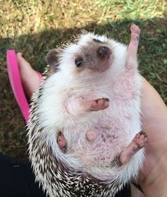 Funny pictures about An Even More Enthusiastic Hedgehog. Oh, and cool pics about An Even More Enthusiastic Hedgehog. Also, An Even More Enthusiastic Hedgehog photos. Hedgehog Meme, Hedgehog Day, Happy Hedgehog, Cute Hedgehog, Animals And Pets, Funny Animals, Funny Pets, Wild Animals, Animal Pictures