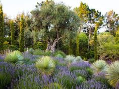"""Mediterranean Garden, Olive Tree, Bay Area Brandon Tyson Berkeley, CA.  """"The gnarled trunk of a specimen olive tree planted on a raised mound emerges from a meadow of lavender and yucca in a Mediterranean garden in the Bay Area showcased in the Early Spring issue of Garden Design magazine."""" Photo by: Claire Takacs."""