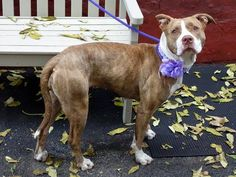TO BE DESTROYED 11/14/13 Manhattan Center- P  ANASTASIA  #A0983699 FEMALE   BROWN BRINDLE    PIT BULL MIX  2 YRS  STRAY 10/31/2013 -  Likely housetrained, a bit stressed trying to figure out where her people went.  She's a bit shy,gentle, and a sweet personality Anastasia is a special little girl who aced her behavior assessment indicating she will be a good fit in just about any family situation. Gets along great w/ other dogs. She's hoping to begin her happily forever after today, with…