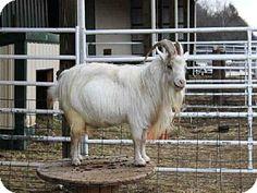 Union, MO - Goat. Meet BILLY BOB, a pet for adoption. http://www.adoptapet.com/pet/11375246-union-missouri-goat