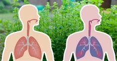 7 Herbs That Kill Viruses and Clear Mucus From Your Lungs - Healthy News Mag Respiration, Decongestant, Oregano Oil, Natural Antibiotics, Eucalyptus Essential Oil, Bacterial Infection, Healthy Tips, Lunges, Mother Nature