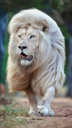 Majestic Animals, Rare Animals, Animals And Pets, Lion Photography, Wild Animals Photography, Lion Pictures, Cute Animal Pictures, Beautiful Cats, Animals Beautiful