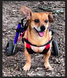"""Cute Wheelchair Dog Does A """"What Does The Fox Say"""" Video Parody"""