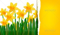 Spring narcissus background with ripped paper