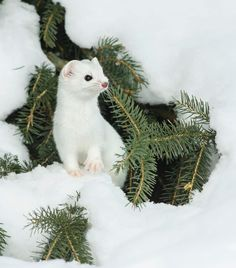 "beautiful-wildlife: ""Short-Tailed Weasel (Ermine) by © Les Piccolo """