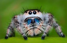 Photo Regal Jumper (Phidippus regius) by Patrick Zephyr on 500px