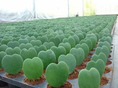 Pots of Hoya kerrii (Sweetheart Hoya) in a garden nursery.  Hoya kerrii is a species of Hoya native to the south-east of Asia. As the thick leaves are heart-s...