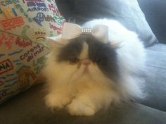 Coco Chanel is a Calico Persian. Coco deserves to win because she is sweet and sassy, but always loves to cuddle.   Blue Star is a White and Gray Persian. Blue Star is everyone's favorite kitty and deserves to win because he loves to dress up and show off his charm.