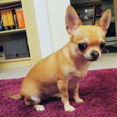 안녕하세요? 서는 칠리! 핀란 드서왔습니다! 삼 살 입니다! #chihut #chihuahua #mylove #pikkukoira #cutie #smalldogs #söpö #söt #dogstagram #chihuahualife #petsagram #chihuahuaoftheday #petlove #dogstagram #helsinki #pets #chihuahuasofinstagram #lovechihuahuas #chihuahualovers #crazyforchihuahuas #littledog #koreaninspired #koreanized #korean #learningkorean #learningkoreanlanguage #치와와  Photo By: chili_the_chihu  http://bit.ly/teacupdogshq