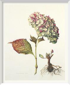 Botanical ilustration • botanical print • flower • ilustração botânica • flor • Brigid Edwards