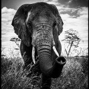 Elephant curieux - Laurent Baheux - YellowKorner