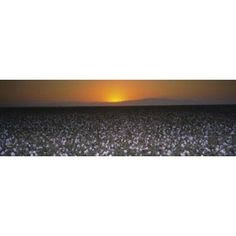 Cotton Crops In A Field San Joaquin Valley California Usa Canvas Art Panoramic Images