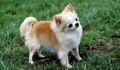 Chihuahua Dog Breed Information